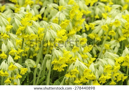 Pallas primrose (binomial name: Primula pallasii, sometimes identified as Primula elatior subspecies pallasii) blooming together in a flower bed, spring in northern Illinois (selective focus) - stock photo