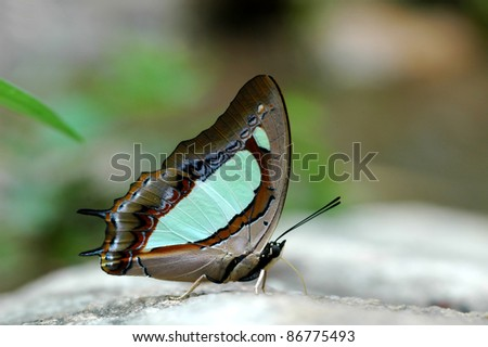 pallid nawab butterfly of Thailand background