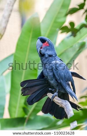 Palm Cockatoo Parrot (Probosciger aterrimus) in nature surrounding, Bali, Indonesia - stock photo