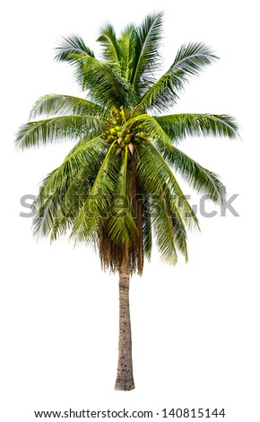 Palm coconut tree plant in white isolated background with rich detail