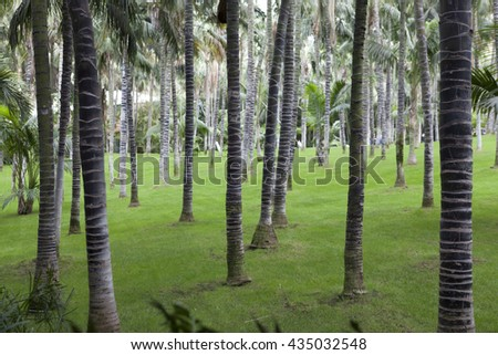 Palm forest near Puerto de la Cruz, Northern Tenerife, Canary Islands, Spain