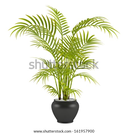 palm in the pot - stock photo
