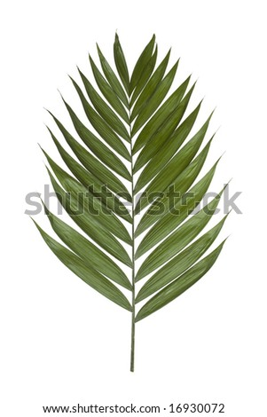 Palm leaf isolated on a white background - stock photo
