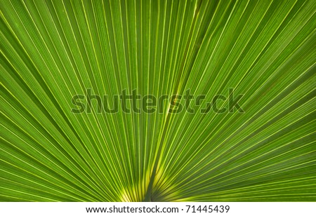 Palm Leaf Pattern (Licuala elegans) - close up of leaf and patterns created