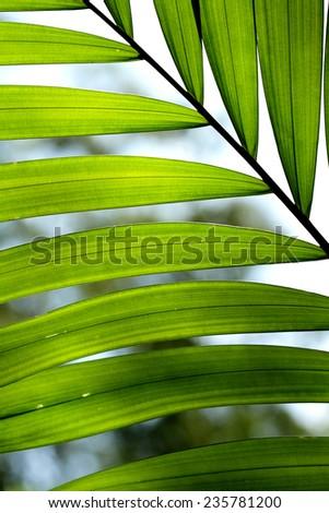 Palm leaf texture - stock photo