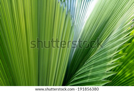 Palm leaf texture, Nature background  - stock photo