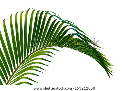 Palm leaves close up  isolated on white background - stock photo