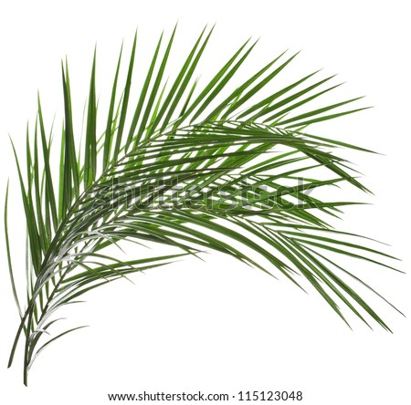 Palm Branches Clip Art Palm leaves isolated on white