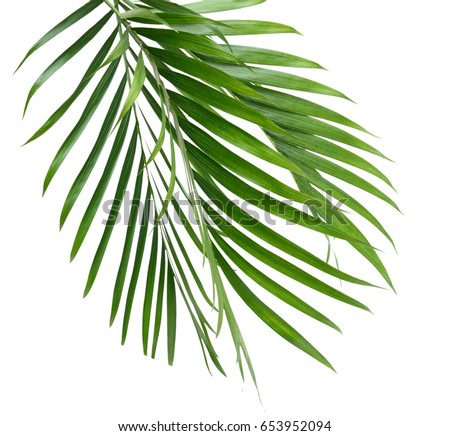 Palm leaves isolated, white