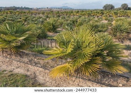 palm nursery in the province of Tarragona, Spain