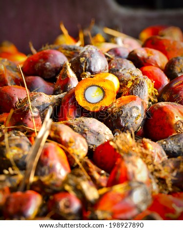 Palm oil, a well-balanced healthy edible oil is now an important energy source for mankind. It comes from the fruit itself. it is widely acknowledged as a versatile and nutritious vegetable oil. - stock photo