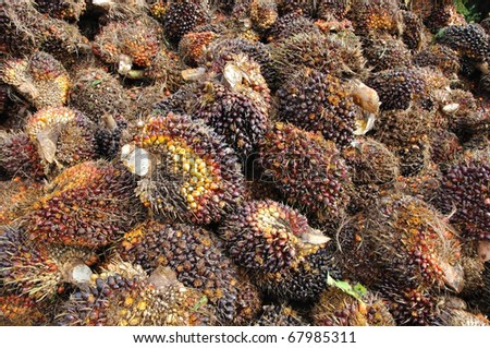 Palm Oil fruits background