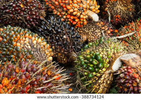 Palm Oil Fruits on the floor at Thailand - stock photo