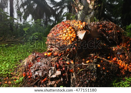 Palm Oil Fruits on the palm tree at Thailand also popular cultivation in Kerala India, Malaysia, Arabia