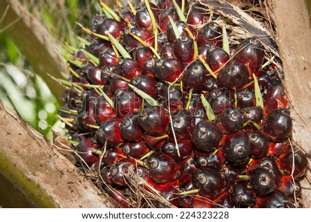 Palm oil garden. A well-balanced healthy edible oil is now an important energy source for mankind. - stock photo