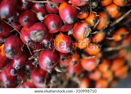 palm oil plantation, - stock photo
