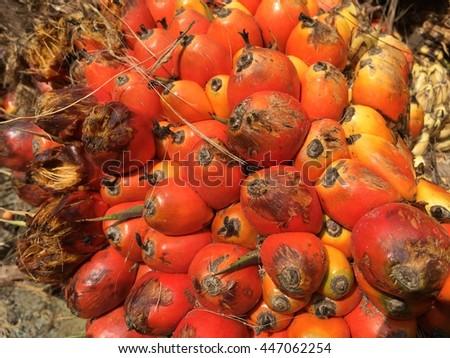 palm oil plantation - stock photo