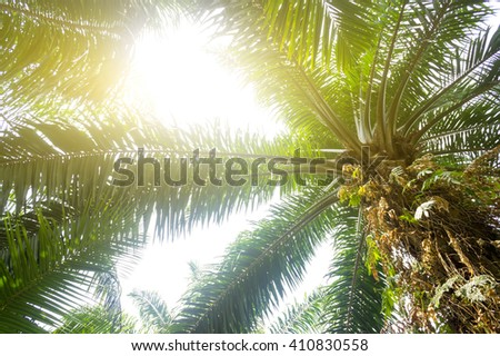 Palm oil plantation and morning sunlight - stock photo