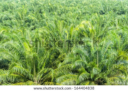 palm oil plantation grow up background - stock photo
