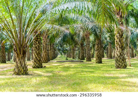 palm oil plantation growing up - stock photo