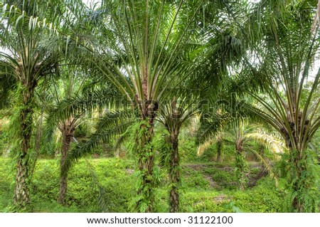 Palm Oil Plantation. Palm oil to be extracted from its fruits.