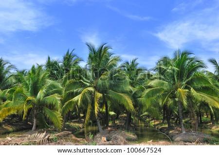 Palm oil plantation with blue sky,Thailand - stock photo