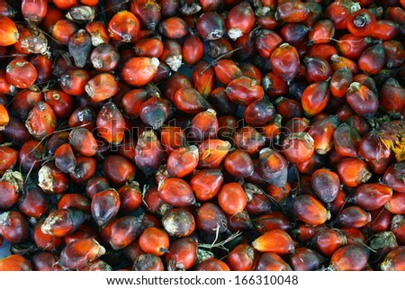 palm oil seed - stock photo