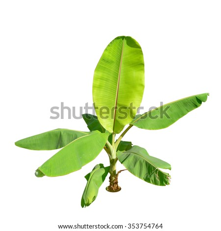 Palm plant tree isolated banana top view isolated on white background. This has clipping path.