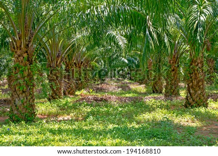 Palm plantations - stock photo