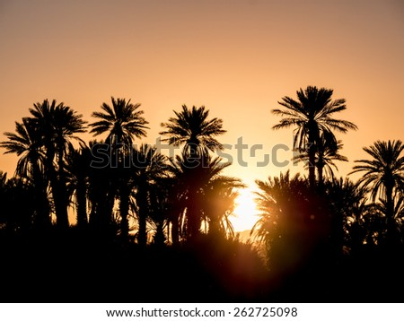 Palm Silhouettes over sunset in the desert. Zagora, Morocco, Africa. - stock photo