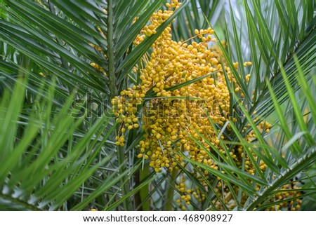 palm tree and ripe nut fruits