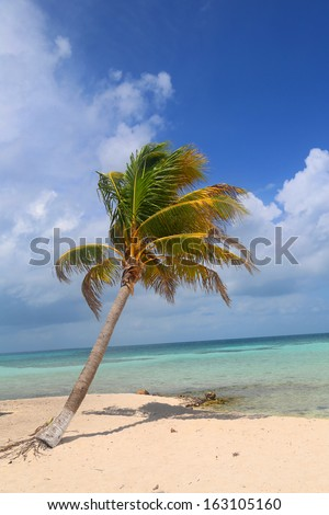 Palm tree at the Goff's Caye in Belize