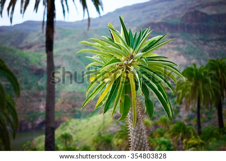 Palm tree before deep canyon / Palm tree with beautiful green leaves standing alone infront of wide canyon on gran canaria / Single palm tree with mountains and valley in the background - stock photo