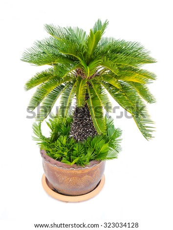 Palm tree cycas revoluta in clay pots isolated on white background, used for in interiors home, garden and park decoration  - stock photo