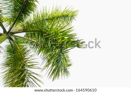 Palm tree green isolated background. - stock photo