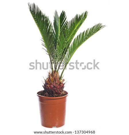 palm tree in brown flowerpot isolated on white background - stock photo