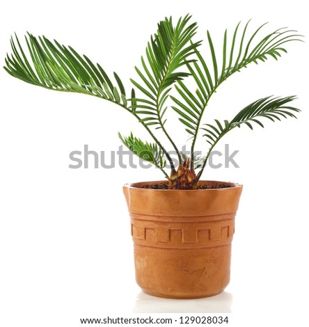 palm tree in clay flowerpot isolated on white background - stock photo