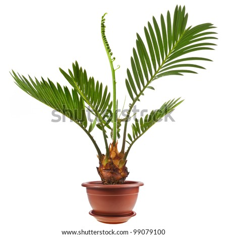 palm tree in flowerpot isolated on white background - stock photo