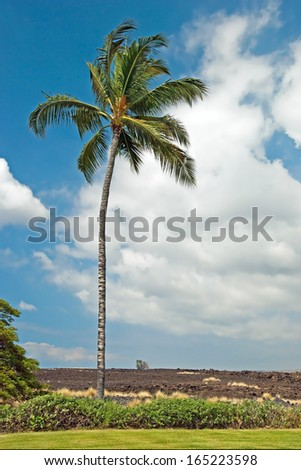 Palm tree in Kona on Big Island Hawaii with lava field in background - stock photo