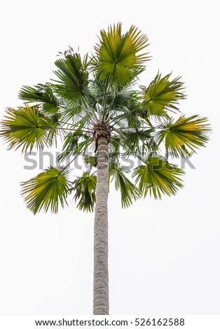 Palm tree isolate,white background
