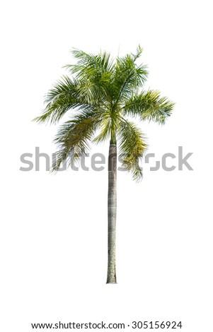 palm tree isolated on white.  - stock photo