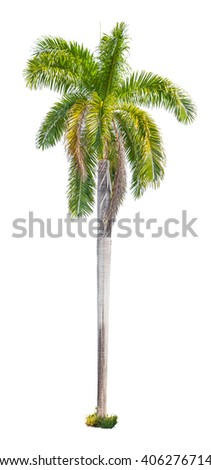 Palm tree isolated on white background. - stock photo