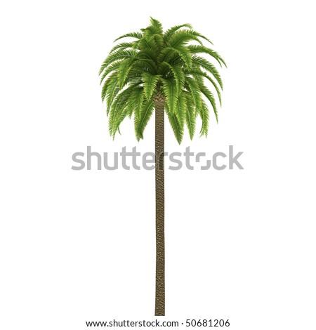 Palm tree isolated on white background - stock photo