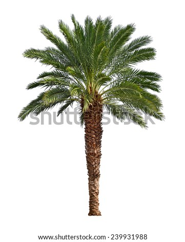"Palm tree isolated on white background. Canary date palm tree ""Phoenix canariensis"" native to tropical areas of Canary islands and North Africa."