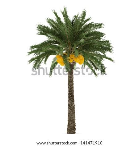 Palm tree isolated. Phoenix dactylifera - stock photo