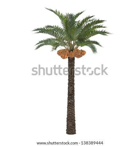 Palm tree isolated. Phoenix dactylifera. Palm image, Palm isolated, Palm illustration, Palm leaves, Palm nature, Palm park, Palm wood, Palm forest, Palm exotic, Palm green, Palm center, Palm concept - stock photo