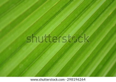 Palm Tree Leaf Closeup / Close up photo of a green palm tree leaf. Texture, lines and veins are visible  - stock photo