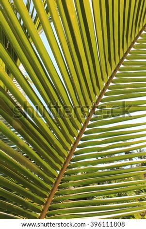 palm tree leaf closeup , palm tree leaves