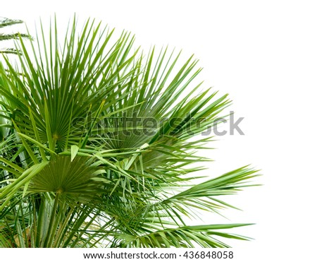 Palm Tree Leafs in the Sunlight on the Bright Sky Background - stock photo