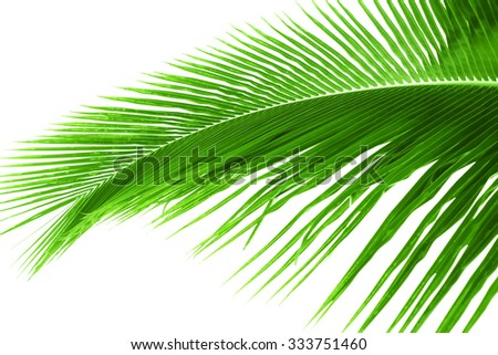 Palm tree leave isolated on white. Selective focus - stock photo